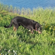 Beauceron Victor